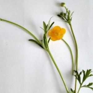 Photographie n°2170822 du taxon Ranunculus arvensis L. [1753]