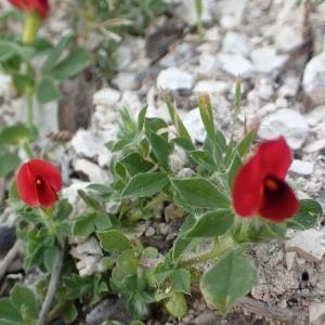 Photographie n°2170903 du taxon Lotus maritimus L. [1753]