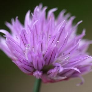Photographie n°2170957 du taxon Allium schoenoprasum L.