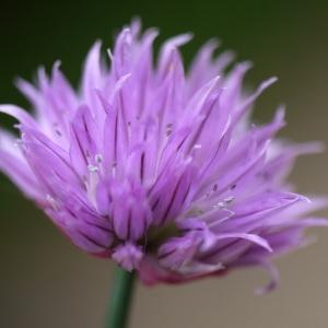 Photographie n°2170958 du taxon Allium schoenoprasum L.