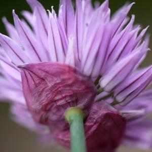 Photographie n°2170959 du taxon Allium schoenoprasum L.