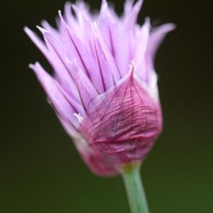 Photographie n°2170962 du taxon Allium schoenoprasum L.