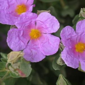 Photographie n°2170967 du taxon Cistus albidus L. [1753]