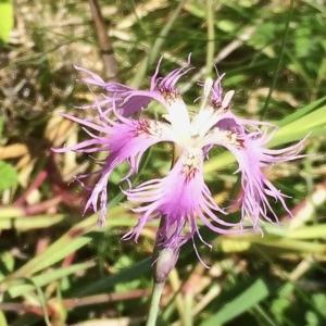- Dianthus superbus L.