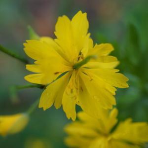 - Chelidonium majus f. tenuifolium (Retz) B.Bock