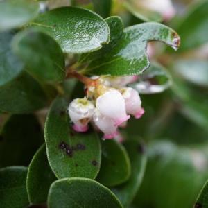 Arctostaphylos uva-ursi subsp. crassifolius (Braun-Blanq.) L.Villar (Busserole)
