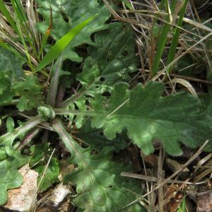 Photographie n°2171451 du taxon Jacobaea vulgaris Gaertn. [1791]