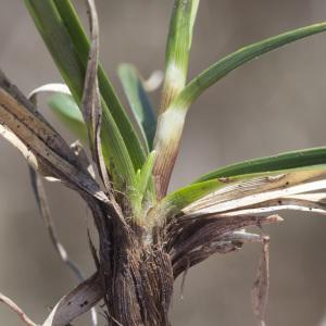 Photographie n°2171524 du taxon Carex ericetorum Pollich