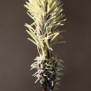 Photographie n°2171526 du taxon Carex ericetorum Pollich