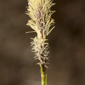 Photographie n°2171528 du taxon Carex ericetorum Pollich