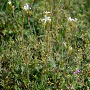 Photographie n°2171572 du taxon Saxifraga granulata L.