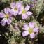 Liliane Roubaudi - Frankenia hirsuta subsp. intermedia (DC.) P.Fourn. [1936]