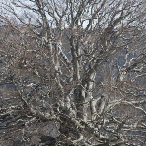 Photographie n°2171824 du taxon Fagus sylvatica L.