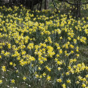 - Narcissus pseudonarcissus subsp. pseudonarcissus