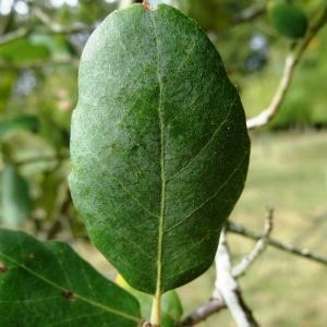 Photographie n°2171858 du taxon Quercus suber L. [1753]