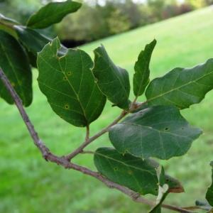 Photographie n°2171869 du taxon Quercus suber L. [1753]