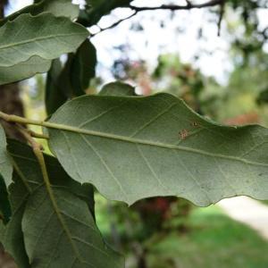 Photographie n°2171871 du taxon Quercus suber L. [1753]