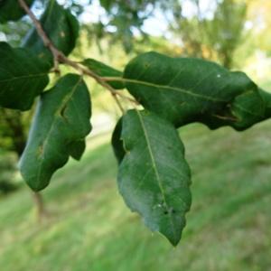 Photographie n°2171872 du taxon Quercus suber L. [1753]