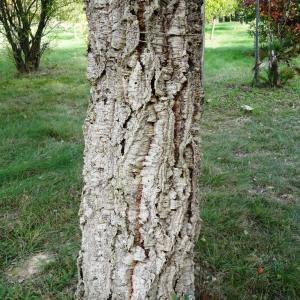 Photographie n°2171873 du taxon Quercus suber L. [1753]
