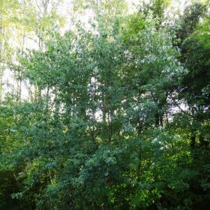 Photographie n°2171875 du taxon Acer pseudoplatanus L.