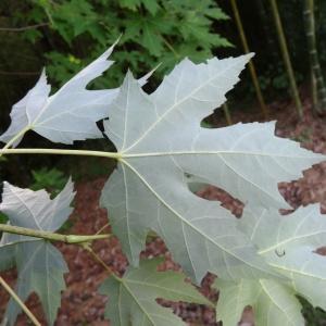 Photographie n°2171878 du taxon Acer pseudoplatanus L.