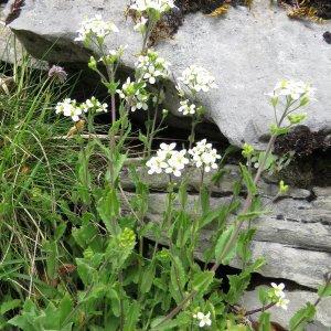 Photographie n°2171906 du taxon Arabis alpina L. [1753]