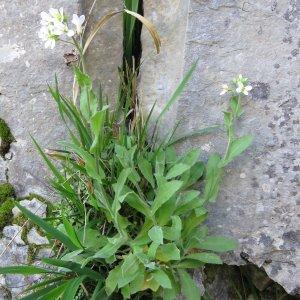 Photographie n°2171918 du taxon Arabis alpina L. [1753]