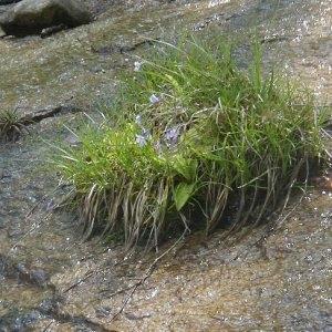 Photographie n°2171945 du taxon Pinguicula corsica Bernard & Gren.