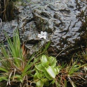 - Pinguicula corsica f. pallidula Rchb. [1823]