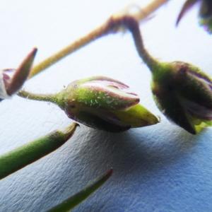 Photographie n°2171976 du taxon Spergularia salina J.Presl & C.Presl [1819]