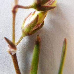 Photographie n°2171977 du taxon Spergularia salina J.Presl & C.Presl [1819]