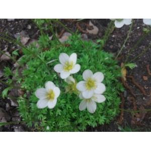 Saxifraga rosacea Moench (Saxifrage rose)