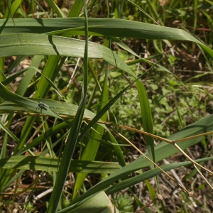 Photographie n°2172587 du taxon Asphodelus ramosus subsp. ramosus