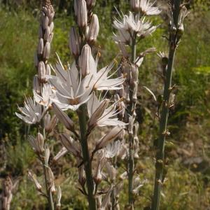 Photographie n°2172589 du taxon Asphodelus ramosus subsp. ramosus