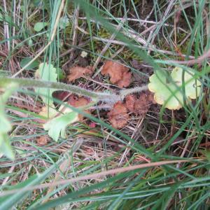 Photographie n°2172690 du taxon Saxifraga granulata L.