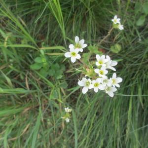Photographie n°2172691 du taxon Saxifraga granulata L.