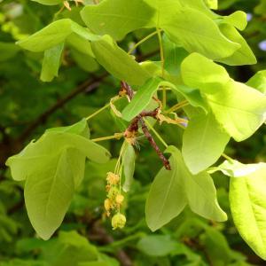 Photographie n°2172989 du taxon Acer monspessulanum L. [1753]