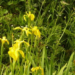 Photographie n°2173362 du taxon Iris pseudacorus L. [1753]