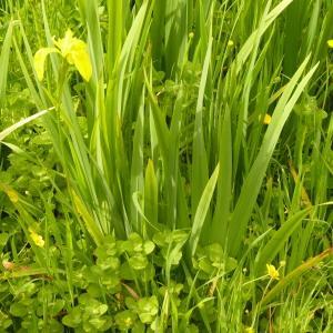 Photographie n°2173363 du taxon Iris pseudacorus L. [1753]
