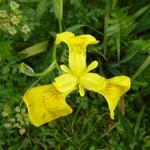 Photographie n°2173364 du taxon Iris pseudacorus L. [1753]