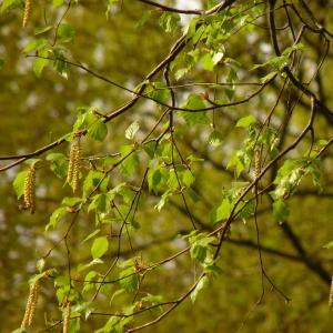 Photographie n°2173484 du taxon Betula alba L. [1753]
