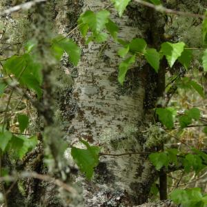 Photographie n°2173539 du taxon Betula alba L. [1753]