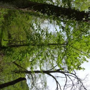 Photographie n°2173540 du taxon Acer pseudoplatanus L.