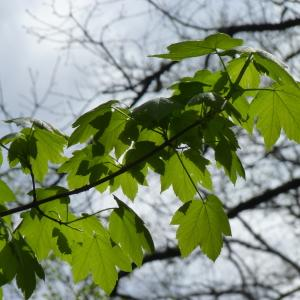 Photographie n°2173554 du taxon Acer pseudoplatanus L.