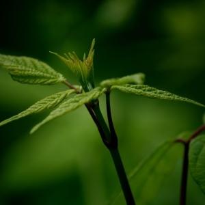 - Rubus L.