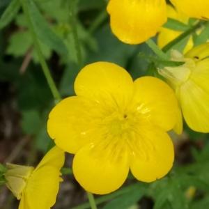 Photographie n°2173821 du taxon Ranunculus bulbosus L. [1753]