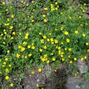 Photographie n°2173824 du taxon Ranunculus bulbosus L. [1753]