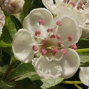Crataegus laevigata (Poir.) DC. subsp. laevigata (Aubépine à deux styles)