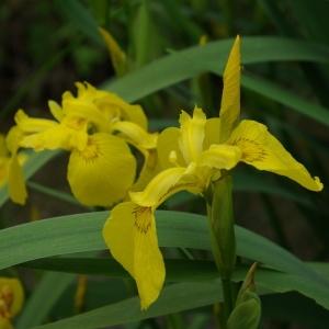 Photographie n°2174056 du taxon Iris pseudacorus L. [1753]