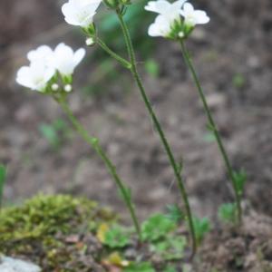 Photographie n°2174071 du taxon Saxifraga granulata L.